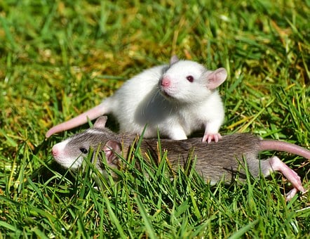 Rat Rat Babies Needy Cute Nager Sweet Baby