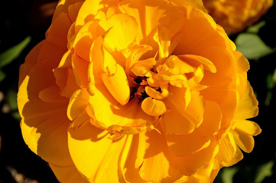 Tulip yellow tumor free photo on pixabay tulip yellow tumor yellow flower spring nature mightylinksfo Gallery