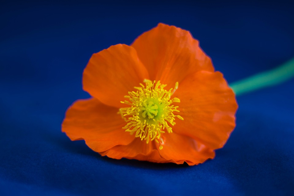 Orange poppy images pixabay download free pictures poppy flower orange garden spring mightylinksfo Image collections