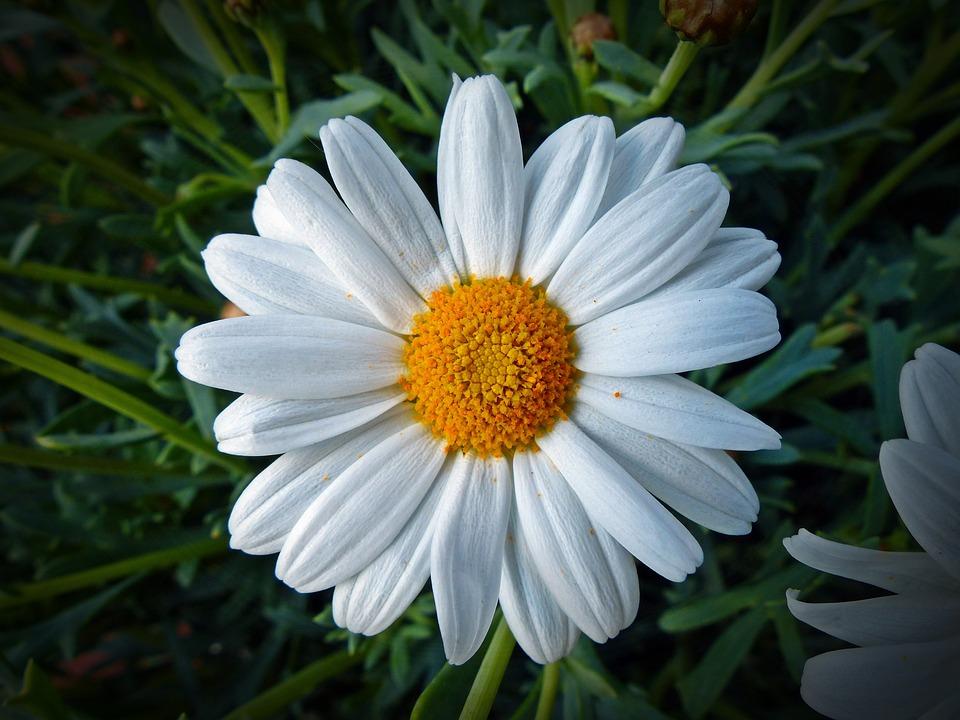 Photo gratuite marguerite fleur jaune nature image - Image fleur marguerite ...