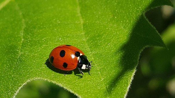 Ladybug 7-Spot Lady Beetle Ladybird Lady B