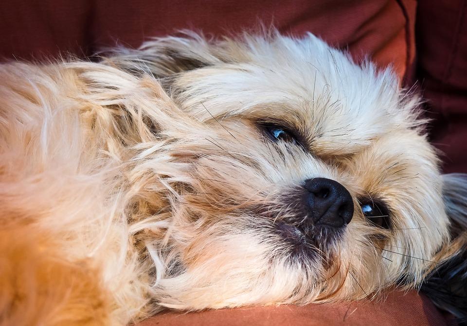 犬, 動物, ペット, 白, 疲れた, 懸念, 眠い, 残り, かわいい, リラックス, リラックスした