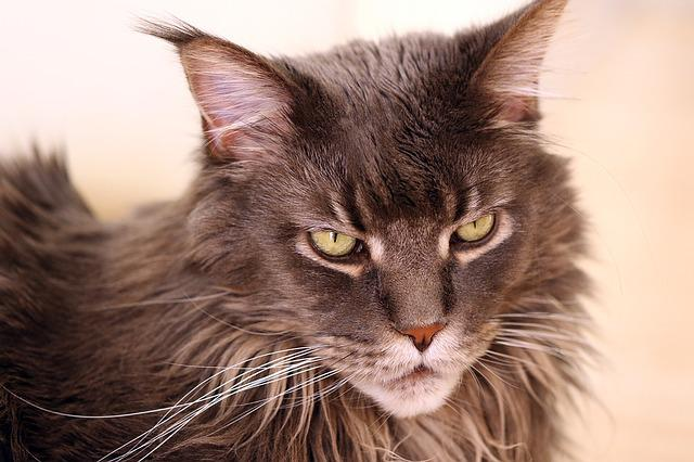Maine Coon Cats In Canada