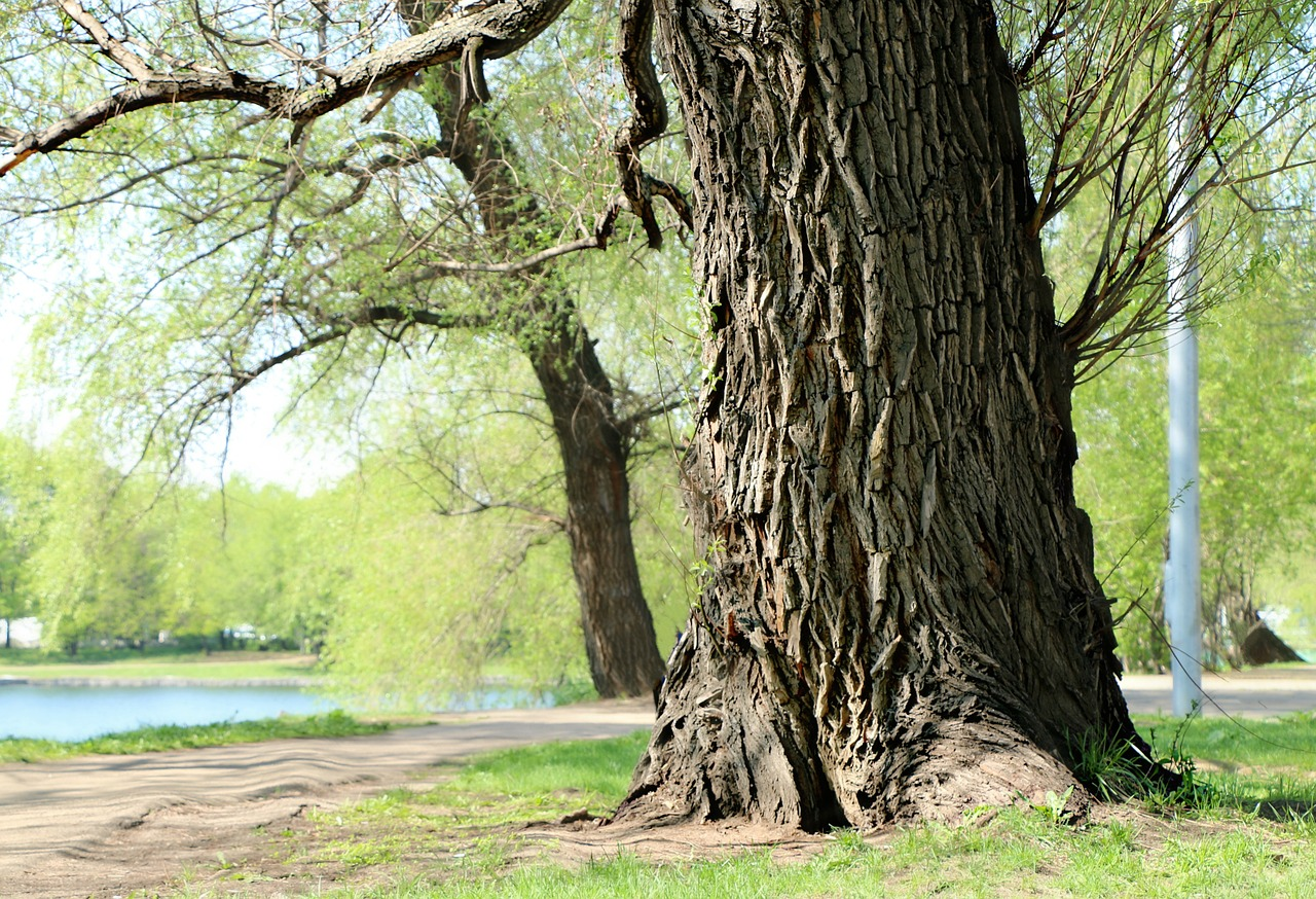 Willow Tree Trunk