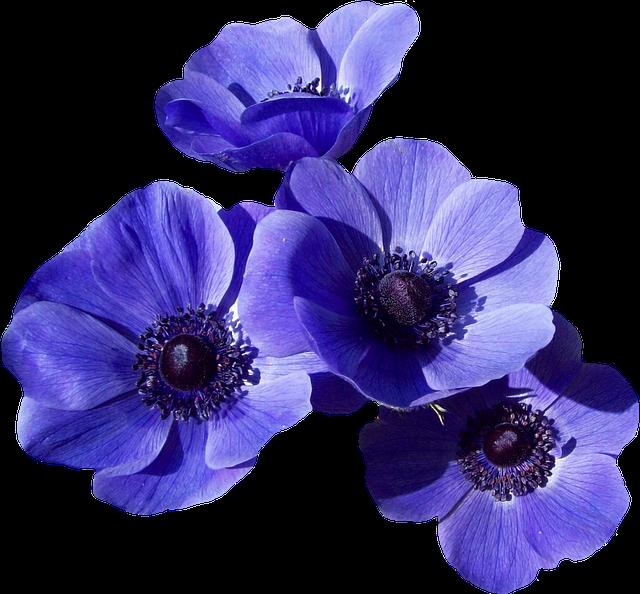 blossom bloom poppy 183 free photo on pixabay