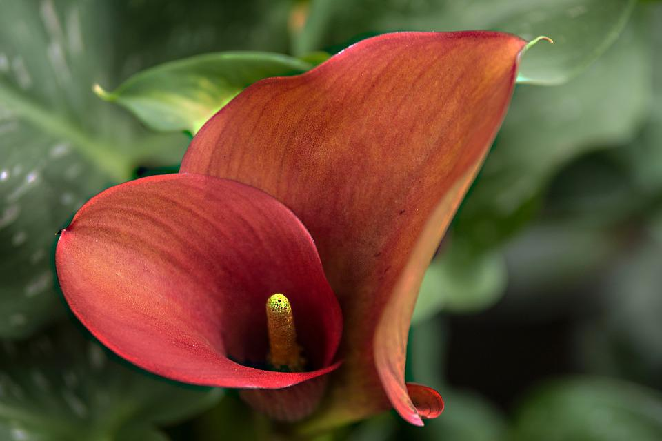 Top Anthurie Blume Flamingoblume - Kostenloses Foto auf Pixabay &UH_95