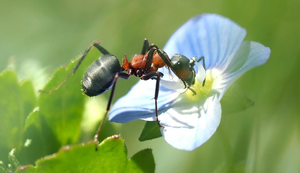 Los-insectos-pueden-ser-omnivoros-hormigas