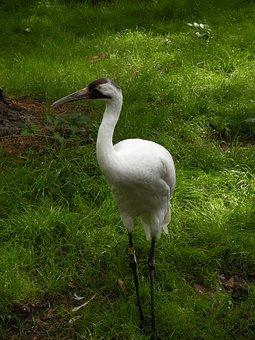 Whooping Crane, Crane, Bird, Whooping