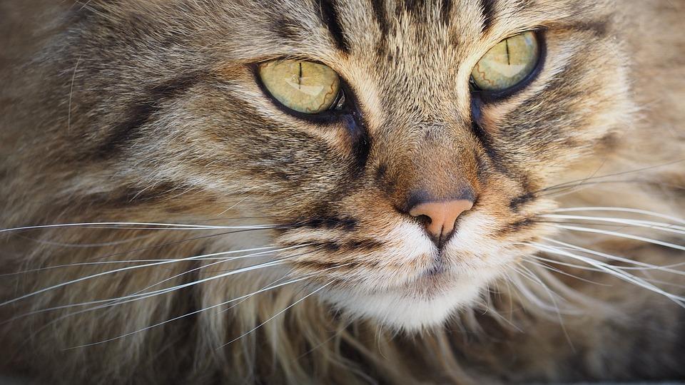 Katze, Tabby, Gesicht, Schnurrhaare, Haustier, Tier