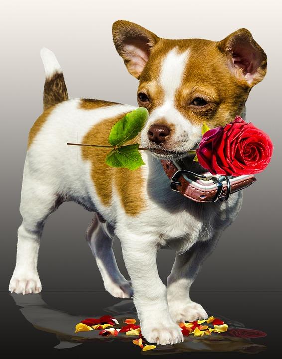 Hund Rose Geburtstag Kostenloses Foto Auf Pixabay
