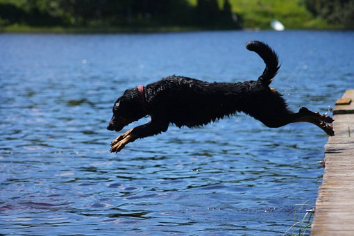 Beauceron, Bathing, Cute, Jump, Jumping