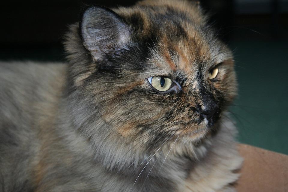 fc02e69d2f85 Γκρινιάρης Γάτα Γούνα Κατοικίδιο - Δωρεάν φωτογραφία στο Pixabay