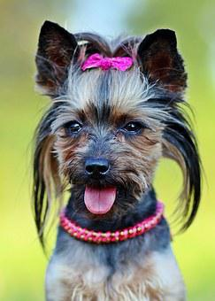 Yorkie, Dog, Fashionable, Csattos, Dog