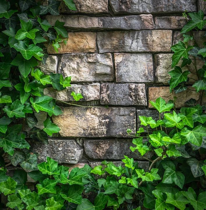 담쟁이 덩굴 나뭇잎 183 Pixabay의 무료 사진