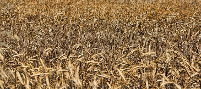 Straw, Cereals, Field, Agriculture