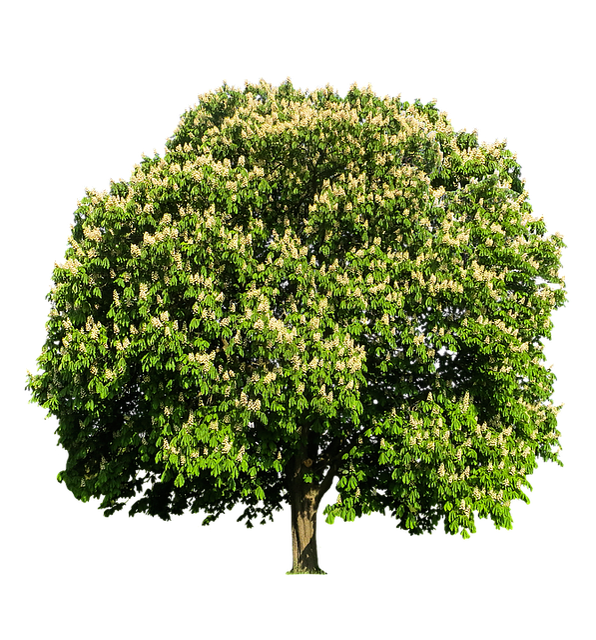 baum kastanie kastanienbaum kostenloses foto auf pixabay. Black Bedroom Furniture Sets. Home Design Ideas