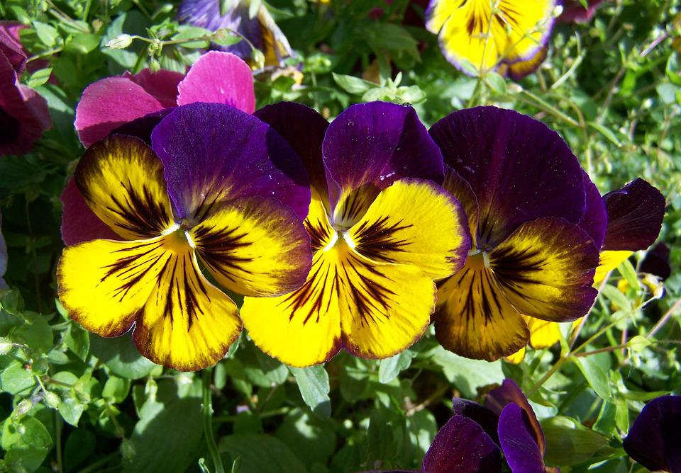 purple and yellow pansy flower 183 free photo on pixabay