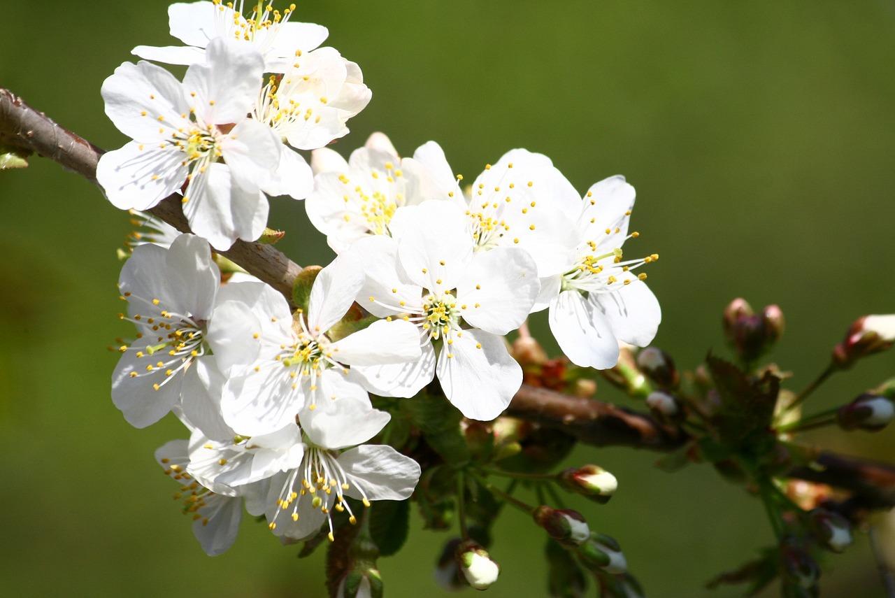 Фотографии цветущих фруктовых деревьев
