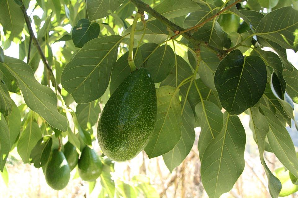 avocado tree branch growing leaf - Growing Avocado Trees