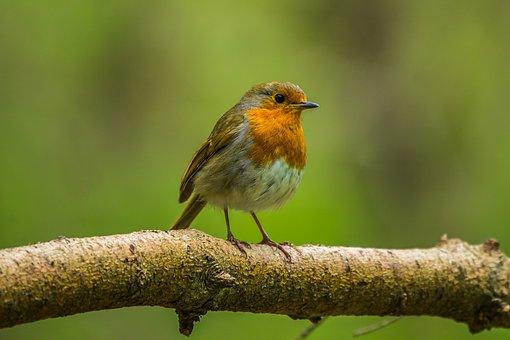 Rouge-Gorge, Oiseau, Nature, Printemps