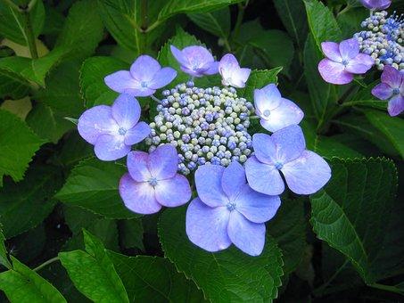Hortensia, Ota Kisan, Flores, Añil, Azul