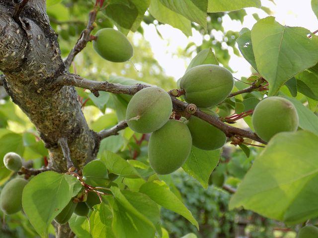 Абрикос дерево или кустарник