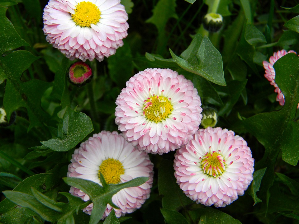 free photo daisy, pink flowers, small flowers  free image on, Beautiful flower