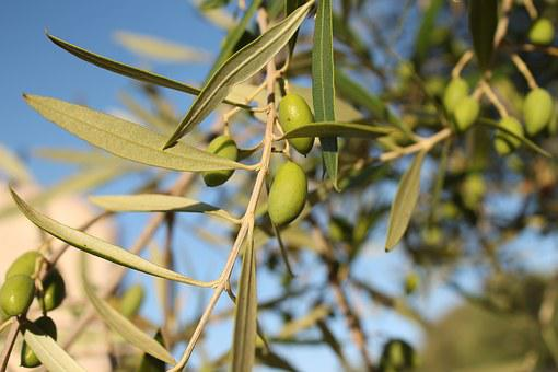 70 + Olive Tree e Natura immagini gratis - Pixabay