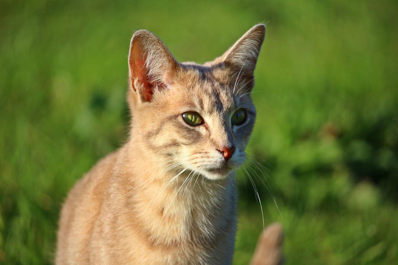 How to treat a scratch on a cats eye