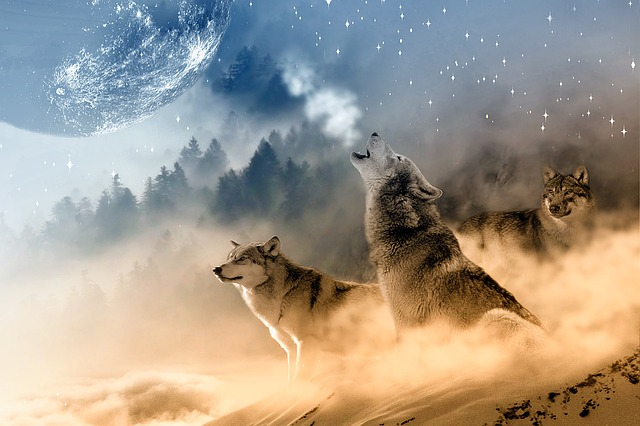 Wolves wolf howling free photo on pixabay - Wolf howling hd ...