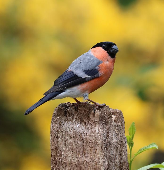 bullfinch song bird garden  u00b7 free photo on pixabay free bird vector silhouettes free bird vector art