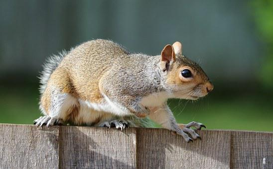 Squirrel, Grey, Brown, Fur, Cute, Mammal