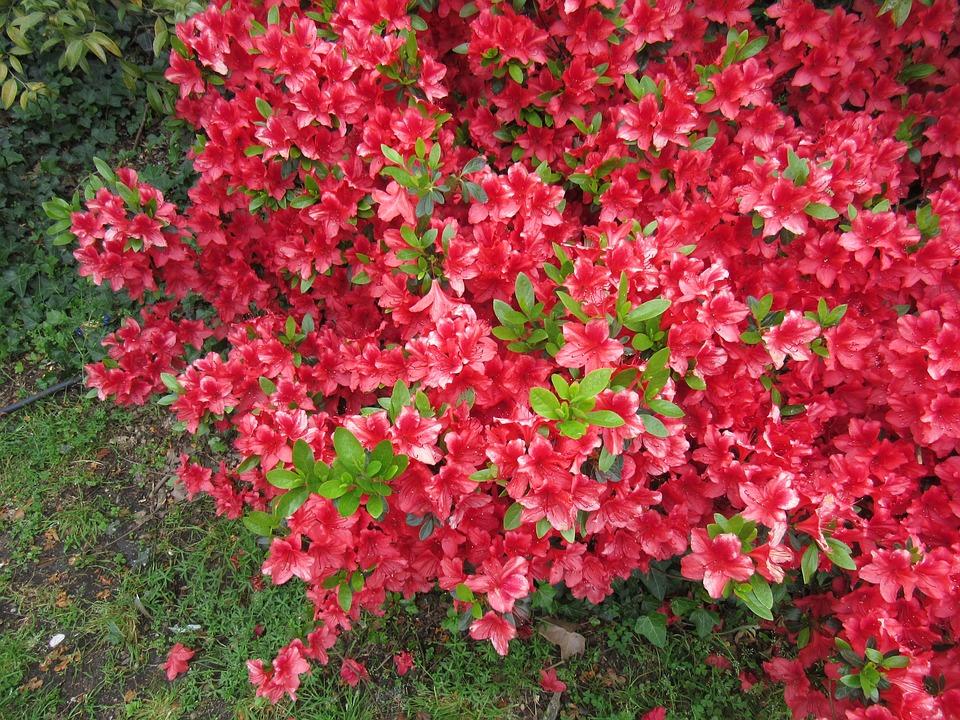 Struiken Met Bloemen Voor In De Tuin.Roze Bloemen Struik Tuin Gratis Foto Op Pixabay