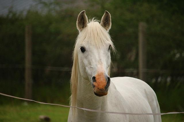 kostenloses foto pferd schimmel hengst kostenloses bild auf pixabay 1401540. Black Bedroom Furniture Sets. Home Design Ideas
