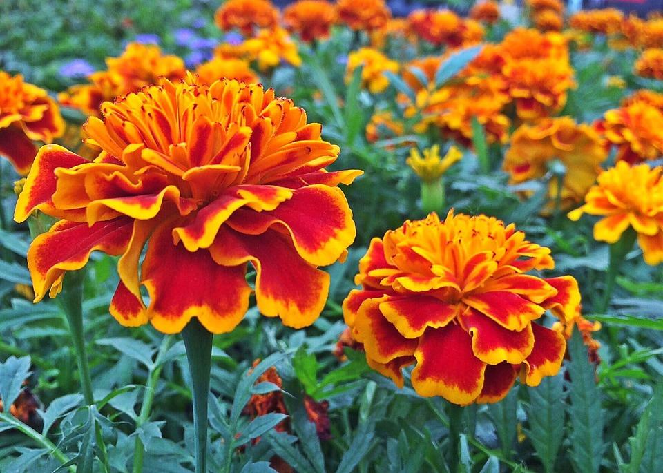 Free Photo Marigold Flower Plant Blossom Free Image On Pixabay 1402082