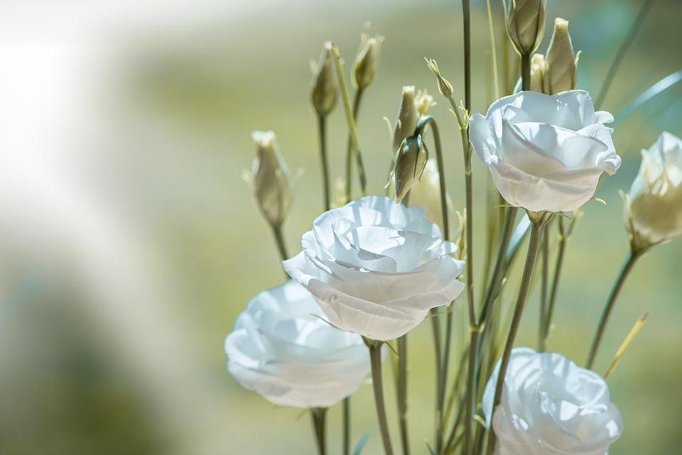 Fiori Lisianthus Bianchi.Lisianthus Flower Blossom Free Photo On Pixabay