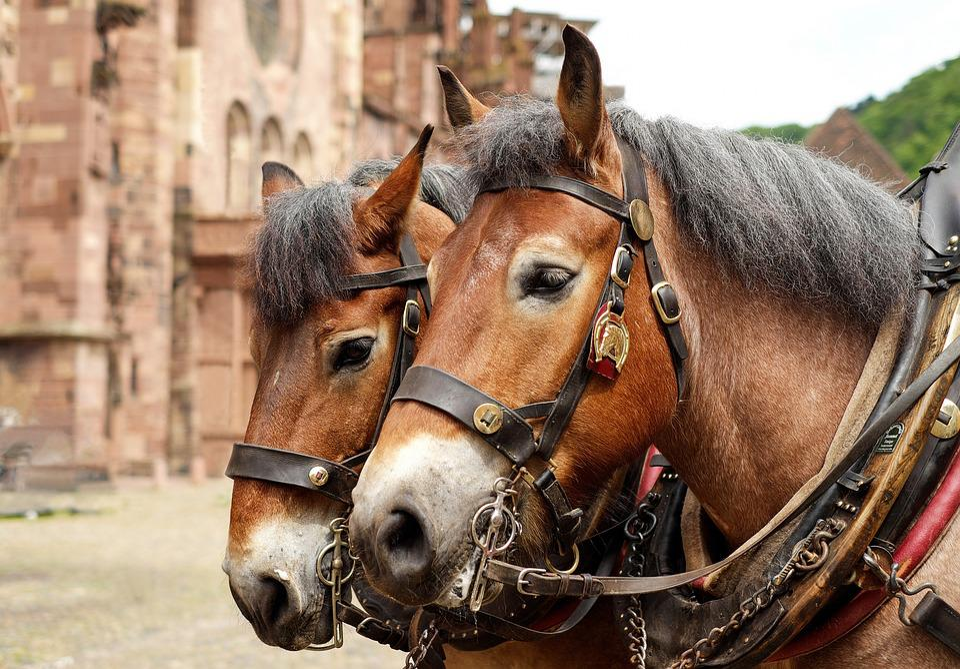 Pferde, Tiere, Schwarzwälder Kaltblut, Pferdegespann