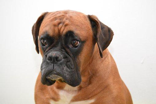 Boxer, Hund, Tierportrait, Hundeblick