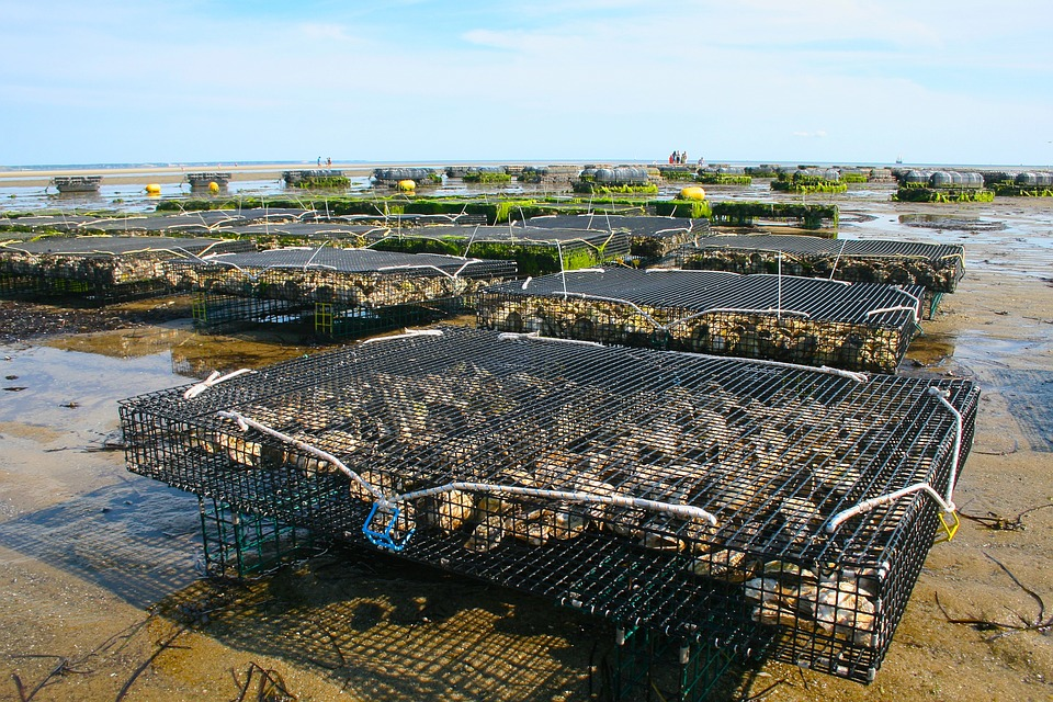 Free photo: Oyster Farm, Shellfish, Fis, Oyster - Free ... Wild Oysters