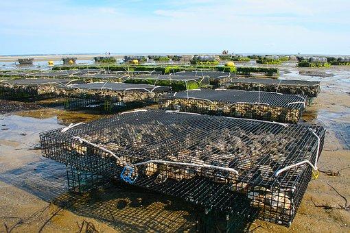 カキ養殖場, 貝, Fis, オイスター, 海, シェル, 魚介類, 自然