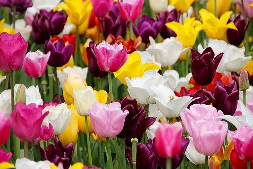 Tulpen, Tulpenfeld, Aufgeblüht
