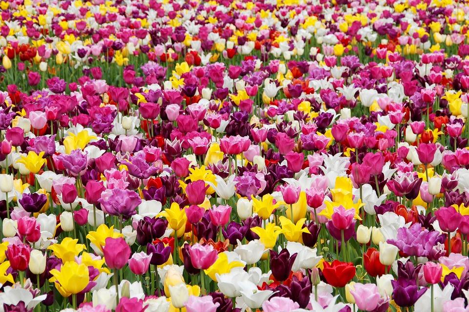 kostenloses foto tulpen tulpenfeld tulpenbl te kostenloses bild auf pixabay 1405413. Black Bedroom Furniture Sets. Home Design Ideas