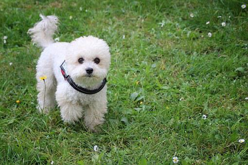 Dog, Miniature Poodle, Poodle, Meadow