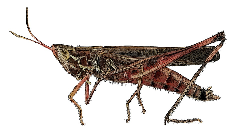 free illustration  insect  cricket  nature