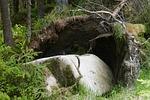 rock, tree, root