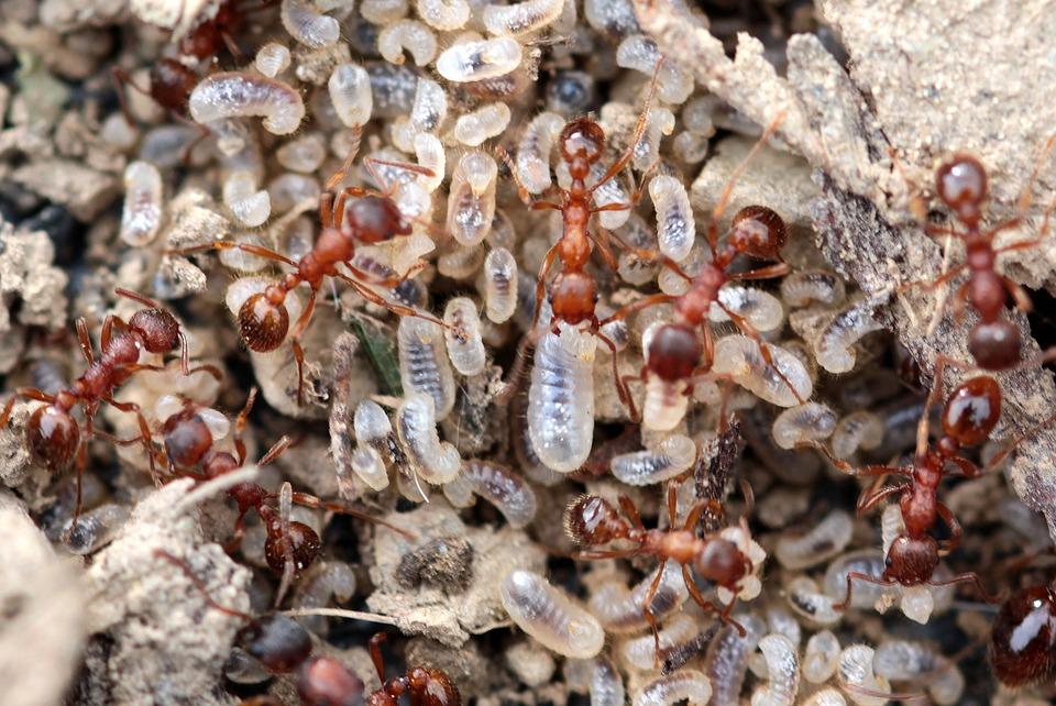 Nido-de-hormigas-oviparos