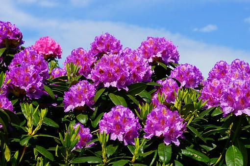 Flowers, Rhododendrons, Bush