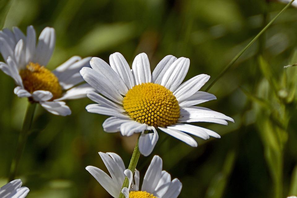 Photo gratuite marguerite fleur nature blanc image - Image fleur marguerite ...