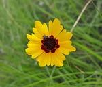 flower, tickseed