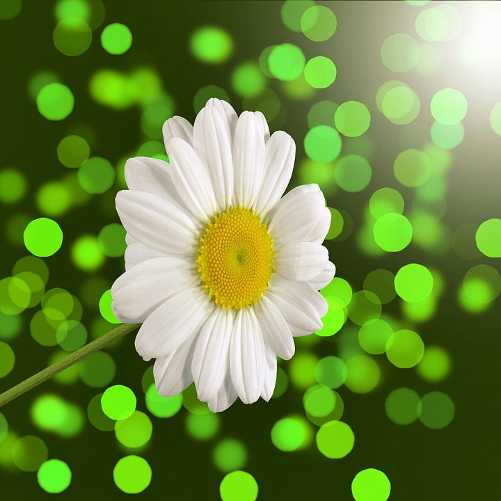 Free Photo: Daisy, Flower, Bokeh, White, Spring